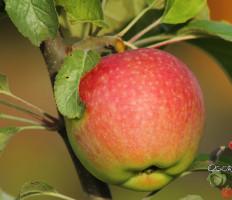 Яблоня Медуница – достоинства сорта и особенности выращивания
