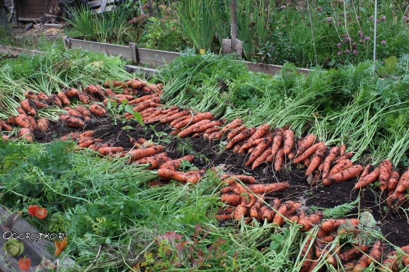 когда копать морковь