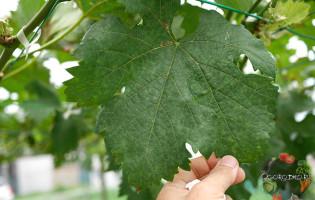 Милдью винограда – какое лечение самое эффективное?