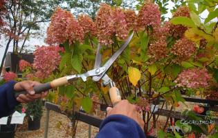 Обрезка гортензии осенью – как обеспечить пышное цветение на следующий год?