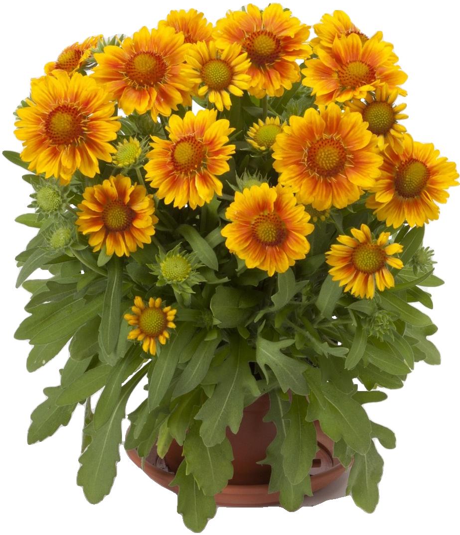 Гайлардия многолетняя, посадка и уход, размножение, выращивание из семян, подкормки, обрезка фото