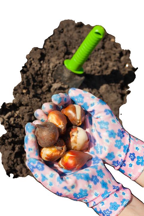 Когда сажать луковицы тюльпанов осенью