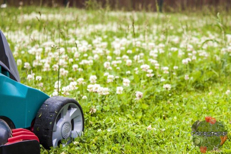 Белый клевер для газона