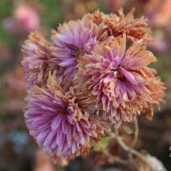 Болезни хризантем и их лечение
