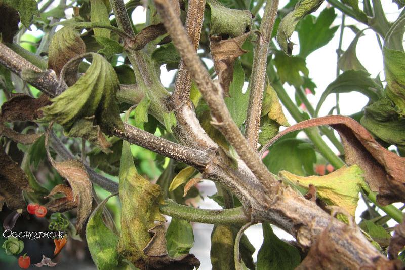 Фузариозное увядание хризантемы