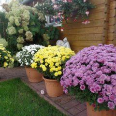 Хризантемы – посадка и уход