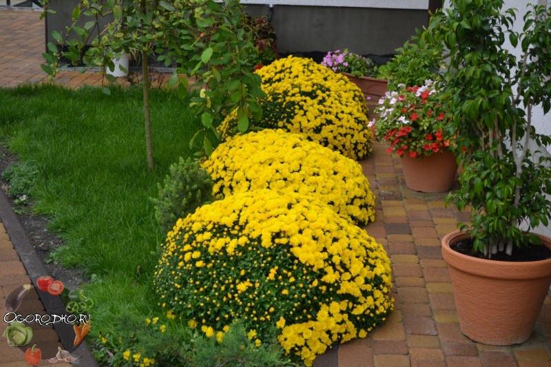 Хризантемы – посадка и уход в открытом грунте, размножение, обрезка на зиму, шаровидная фото