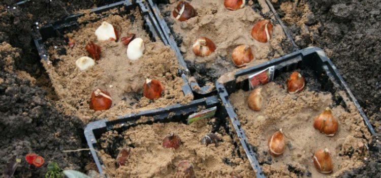 Когда сажать луковицы тюльпанов осенью — оптимальные сроки для всех регионов