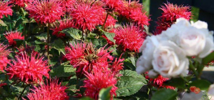 Монарда, посадка и уход в открытом грунте – красивый цветок с полезными свойствами