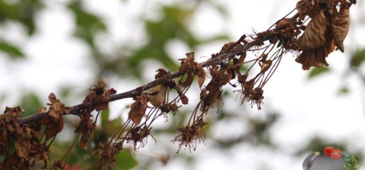 Монилиоз вишни – как лечить болезнь, чтобы сохранить дерево и урожай?