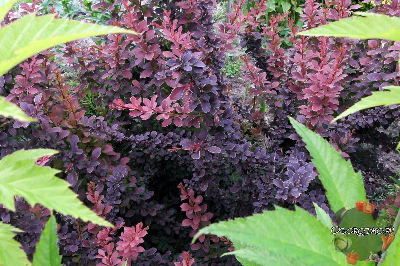 Уход и выращивание барбариса фото