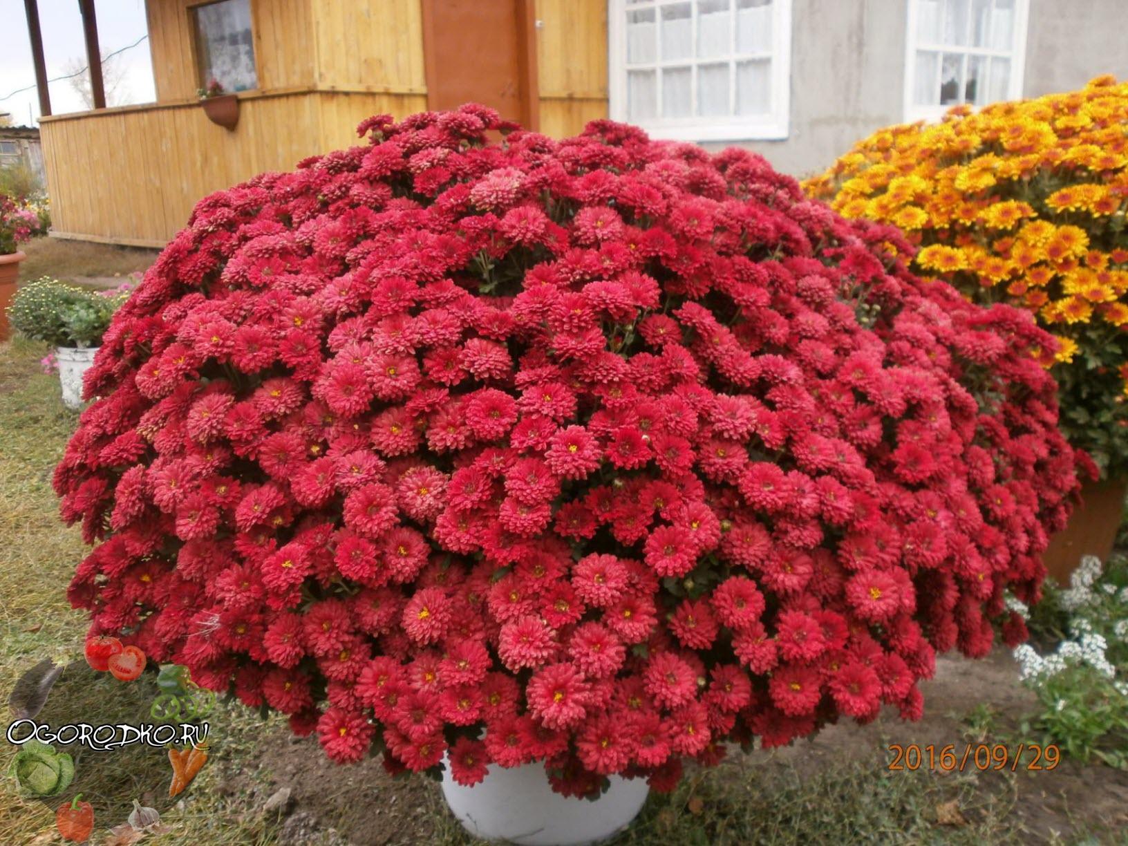 Хризантемы шаровидная