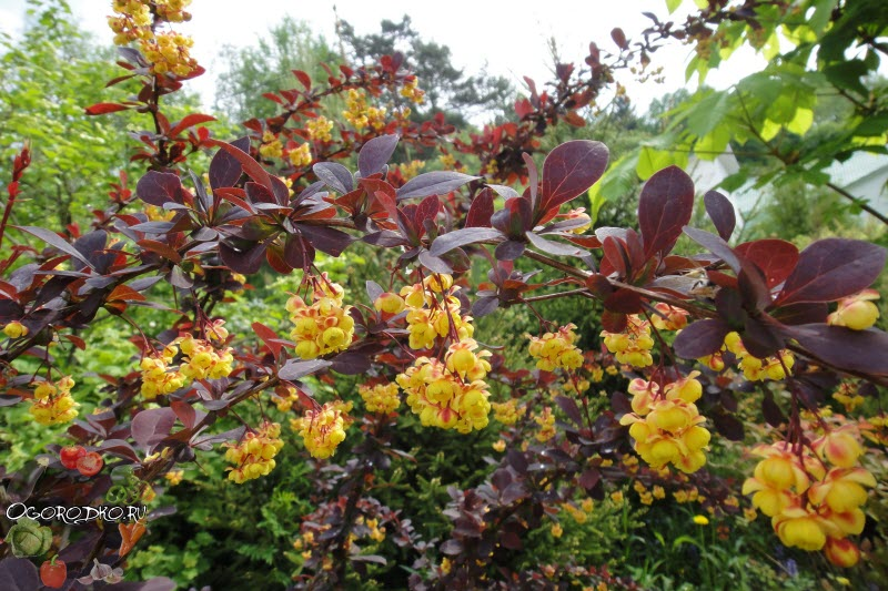 цветение Барбариса Тунберга