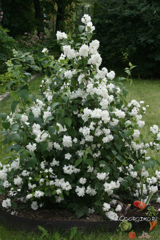 Жасмин цветок кустарник размножение