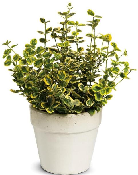 Бересклет выращивание