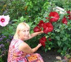 Гибискус садовый, уход и размножение – желанный гость из тропиков