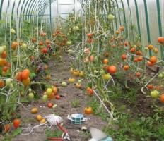 Как подвязывать помидоры в теплице — лучшие способы и приспособления