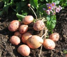 Картофель Жуковский ранний – описание сорта, фото, отзывы, секреты хорошего урожая
