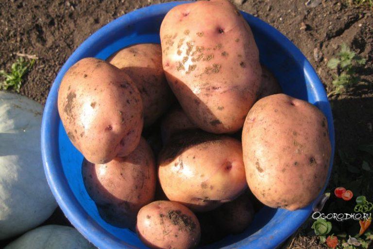 Сорт ранней картошки на украине