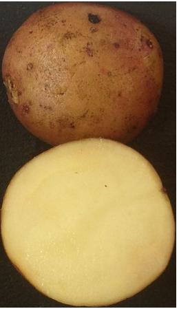 Картофель сорт Жуковский ранний