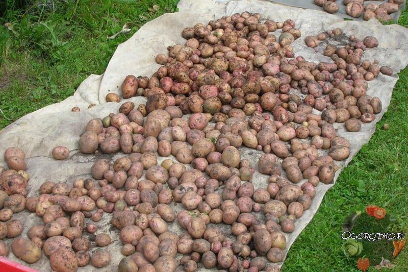Картошка Жуковский ранний - фото