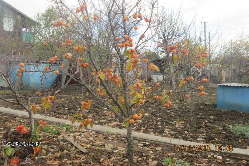 Хурма, выращивание в домашних условиях