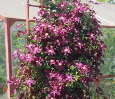 Клематис – как сажать, чтобы получить пышное и обильное цветение?