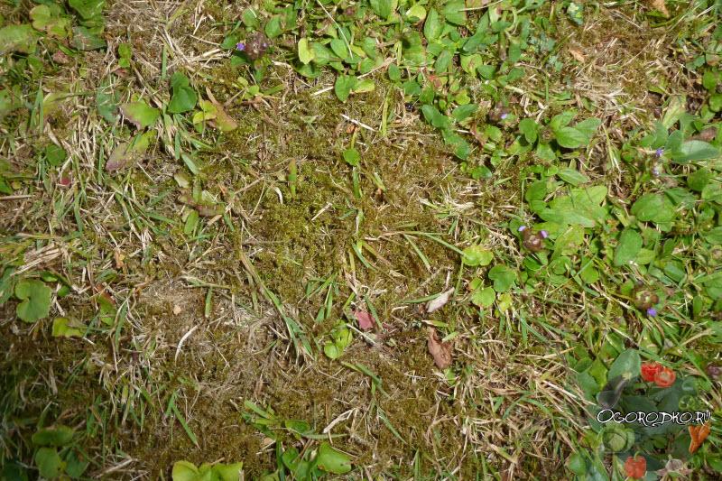 мох на газоне, как избавиться