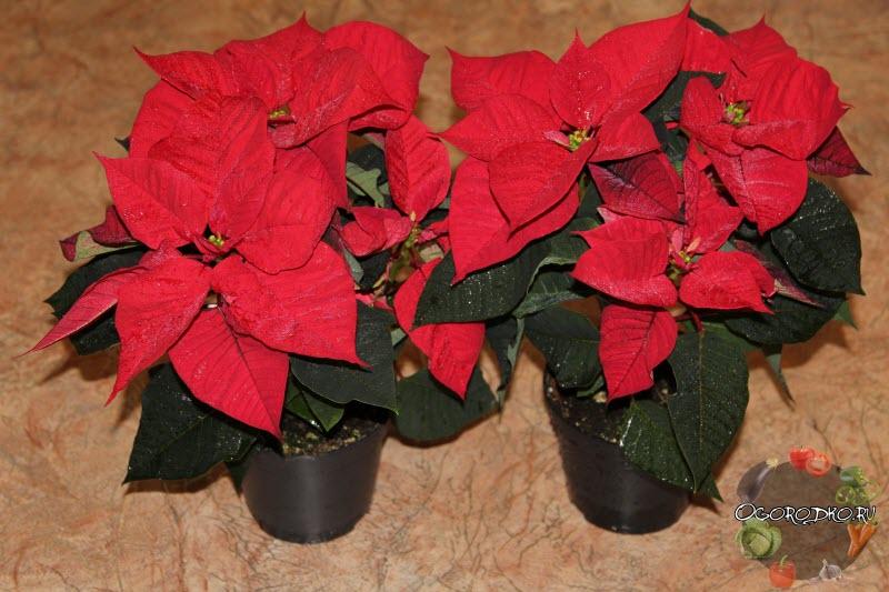 Пуансеттия, уход в домашних условиях, фото цветка