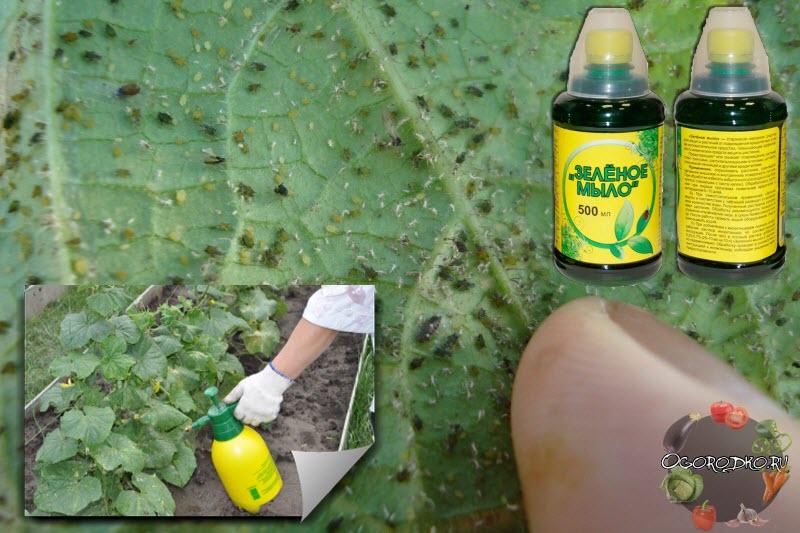 зелёное мыло от вредителей инструкция для смородины