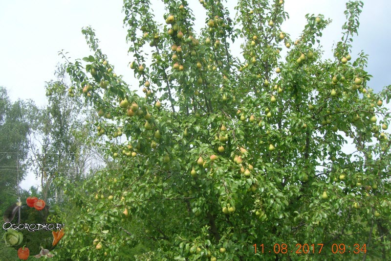 дерево груши сорта Лада