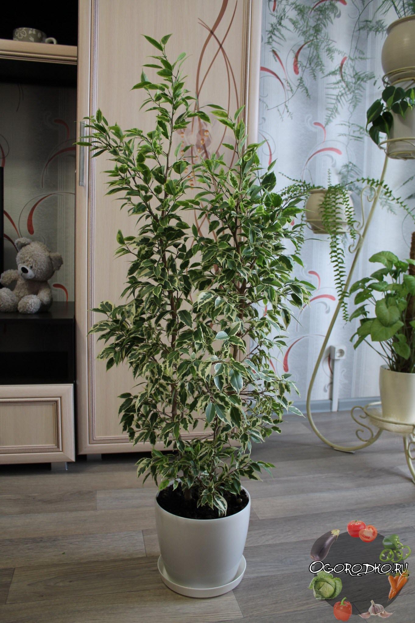 Цветок фикус комнатный: фото видов 82