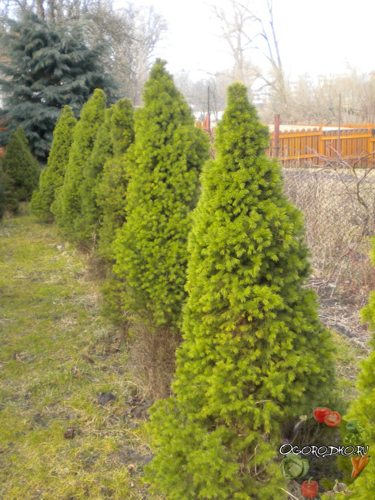 канадская ель для живой изгороди