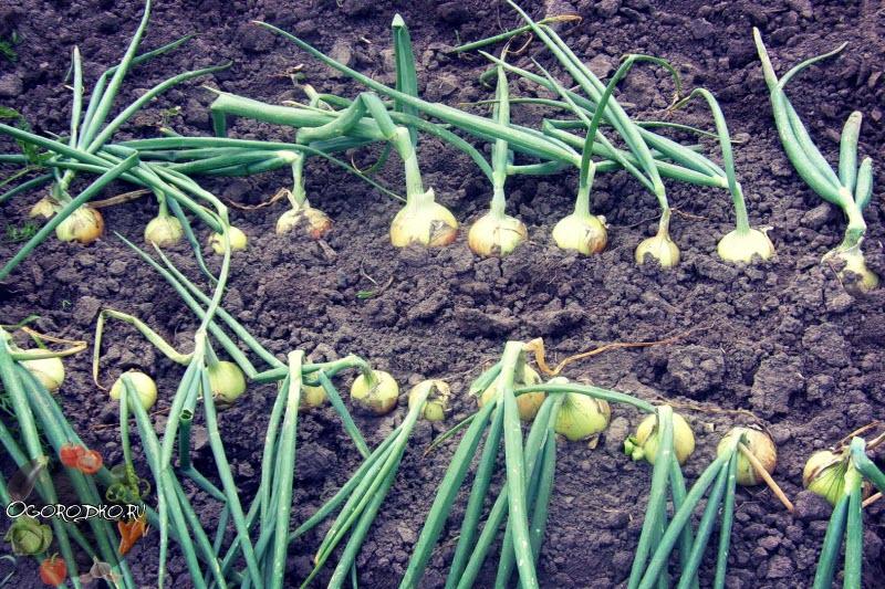 Когда сажать озимый лук семенами 76