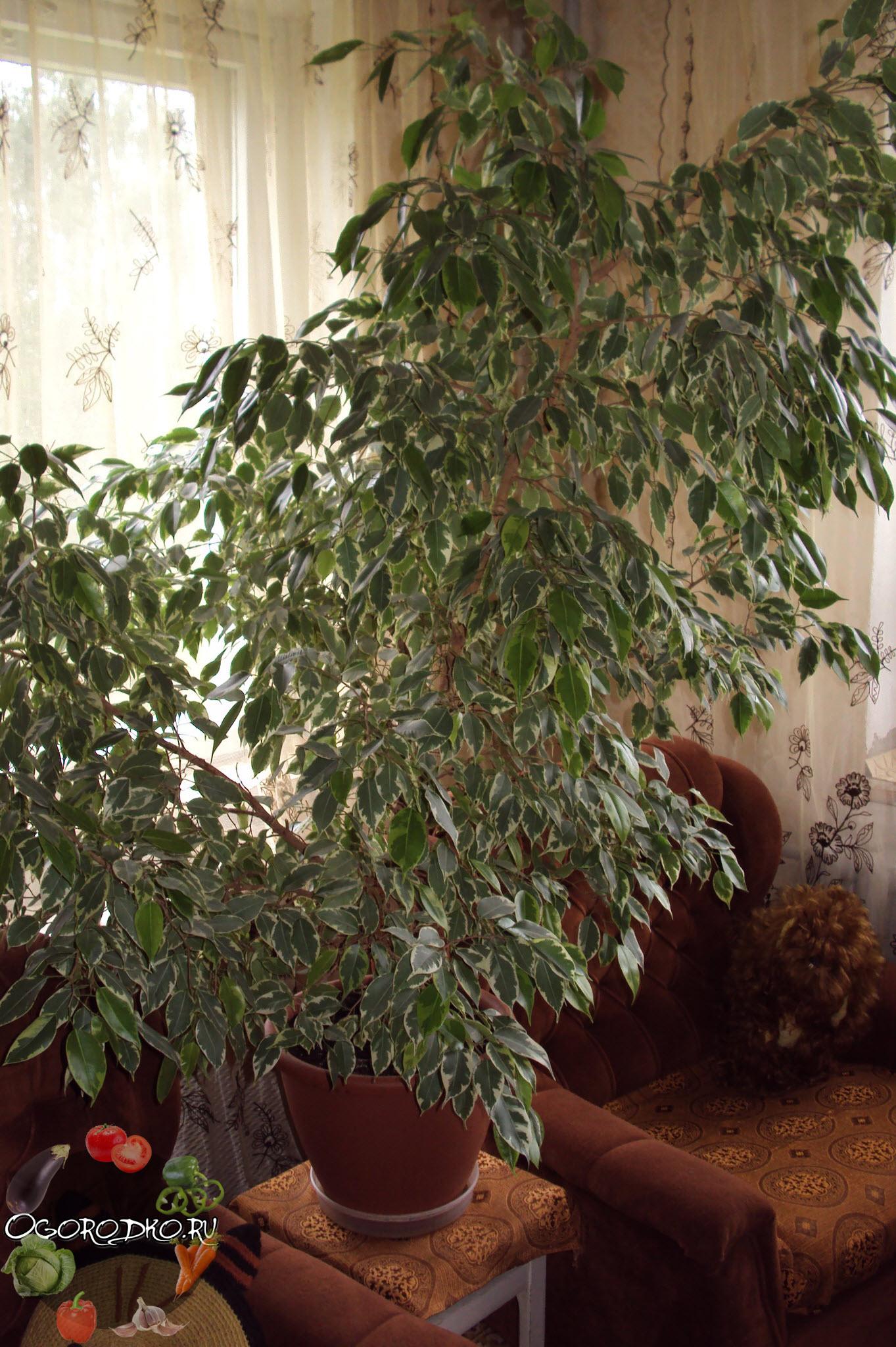 Цветок фикус комнатный: фото видов 36