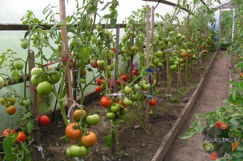 подвязка помидор к колышкам