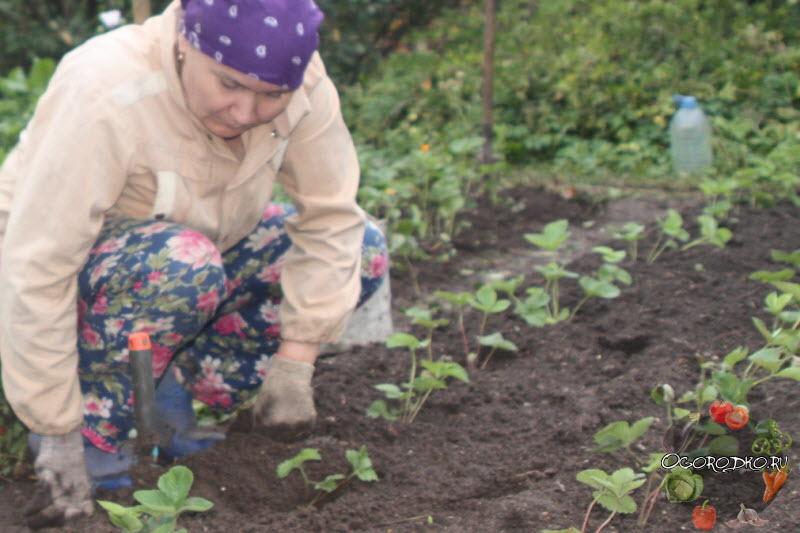 Как вырастить клубнику из семян - посадка семян и уход, инструкция, советы и секреты фото