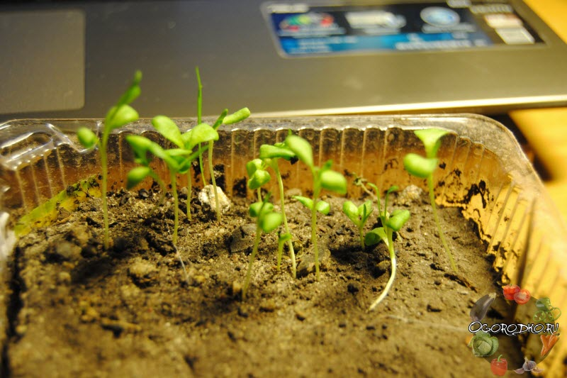 посев семян гвоздики