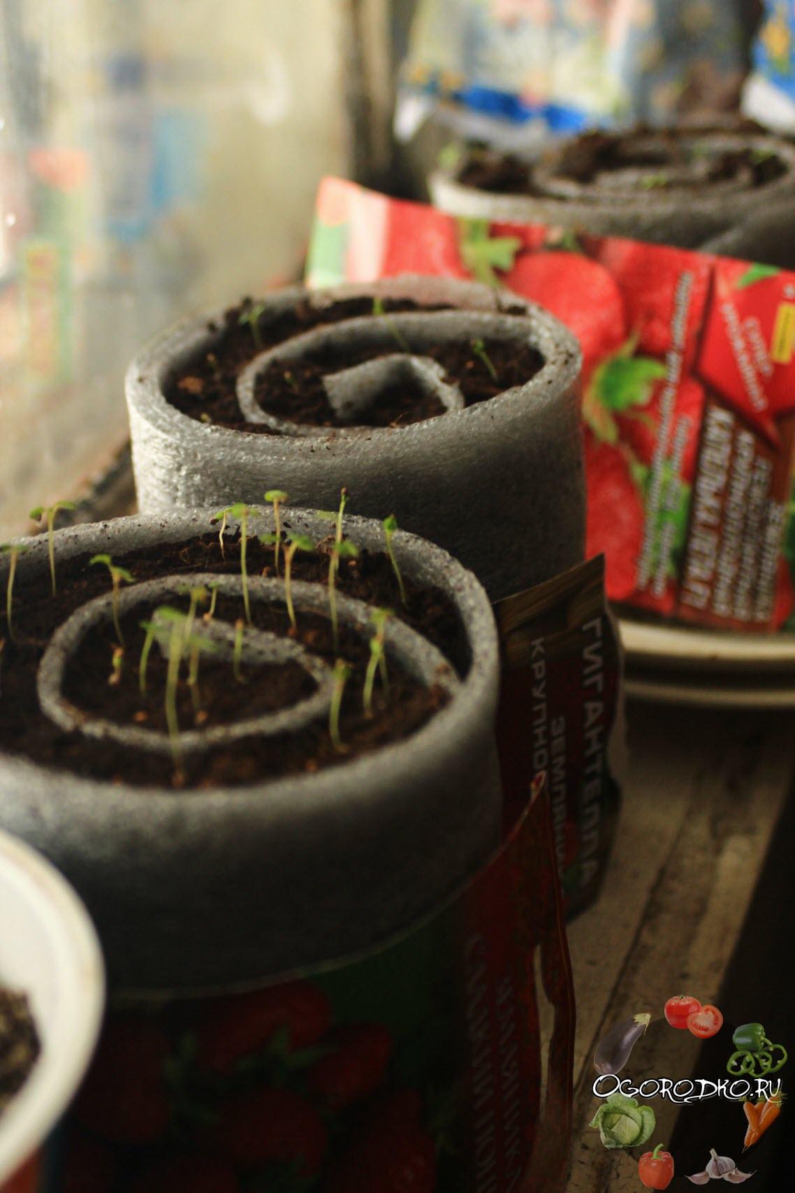 Как сеять клубнику на рассаду из семян