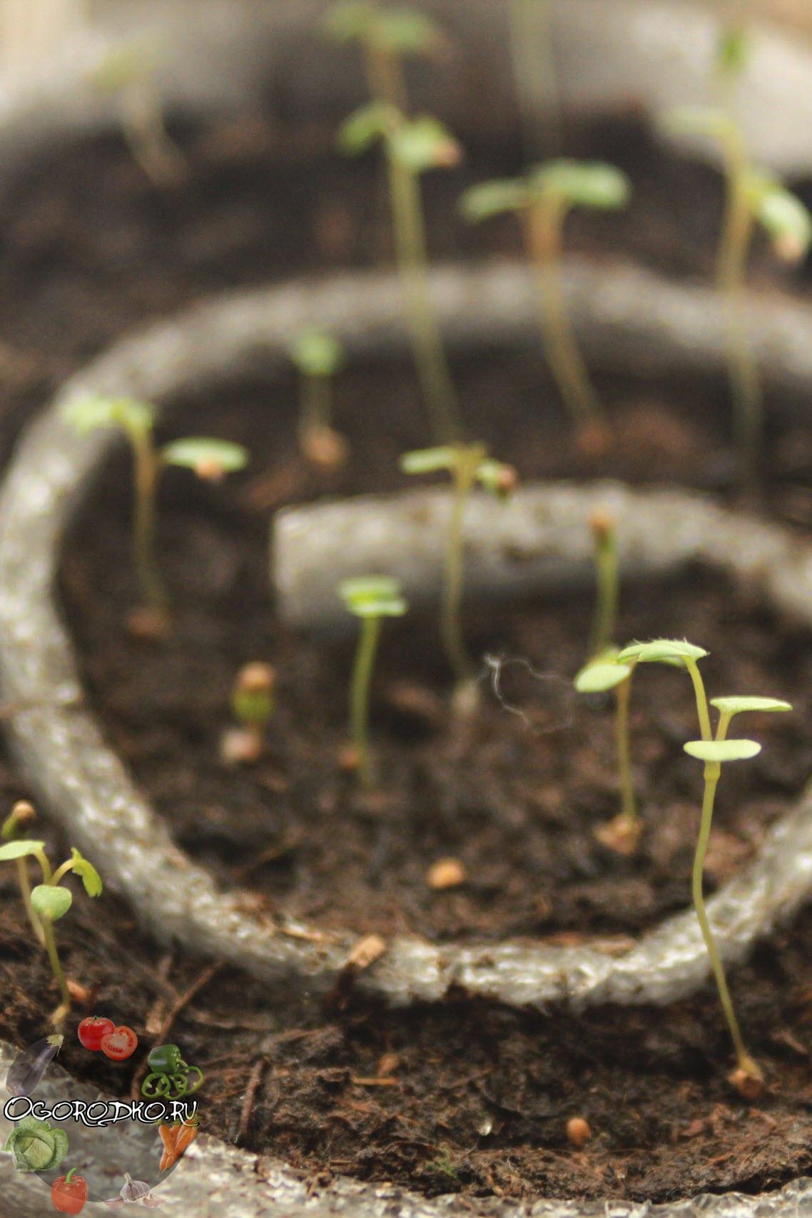 Как выращивать клубнику из семян пошаговое