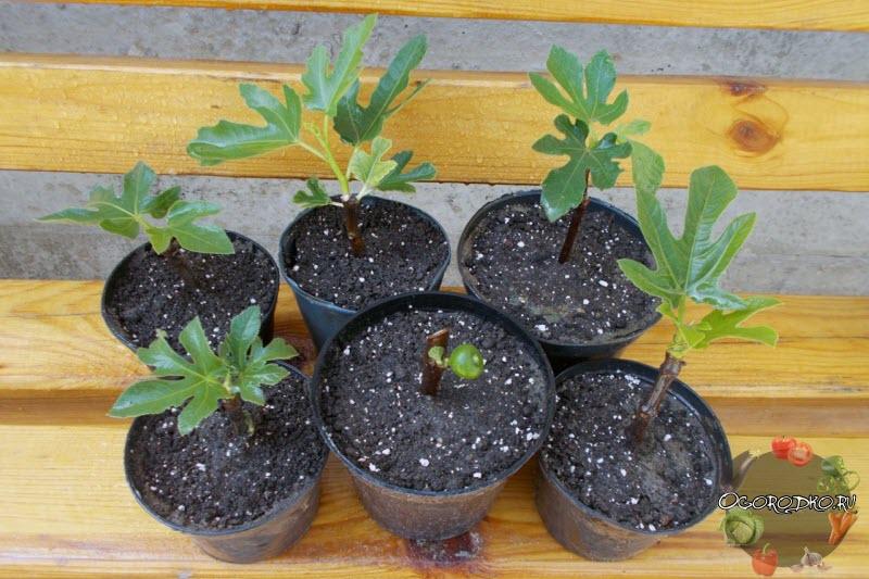 Инжир на подоконнике выращивание