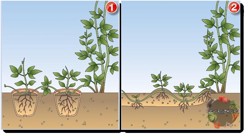 размножение клематиса - фото, пример, инструкция
