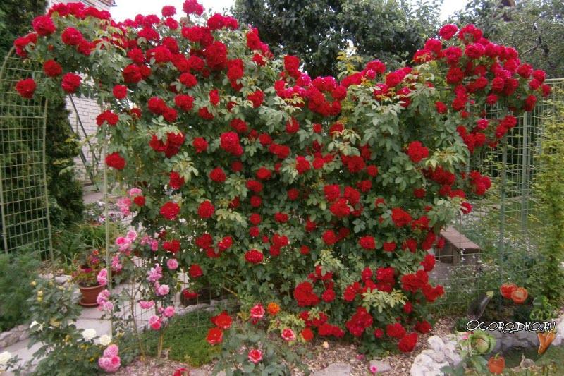 роза плетистая для изгороди