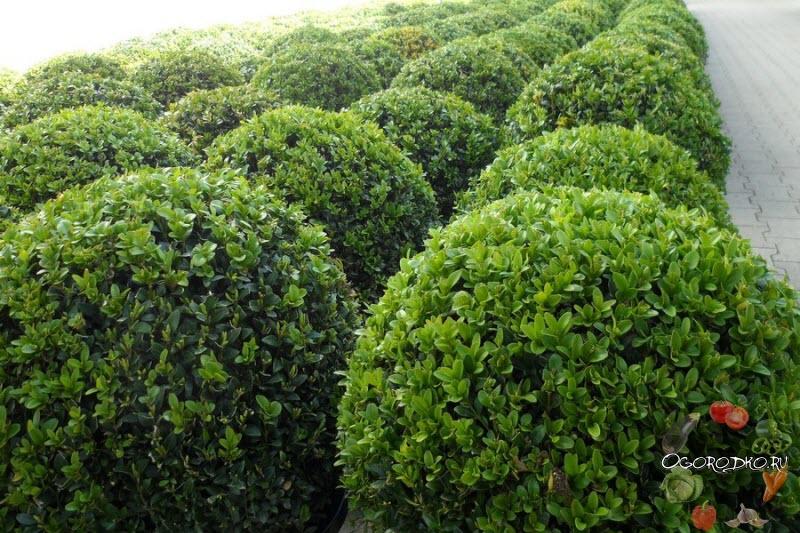 самшит для изгороди