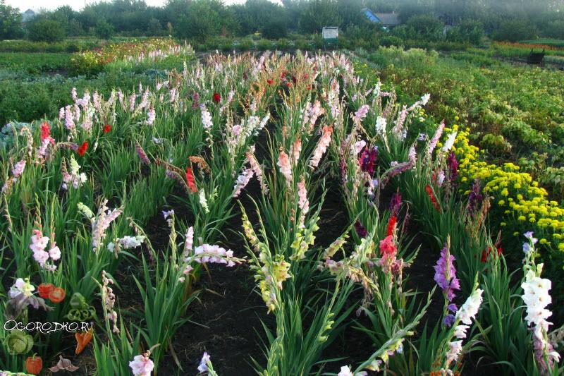 цветение гладиолусов - фото