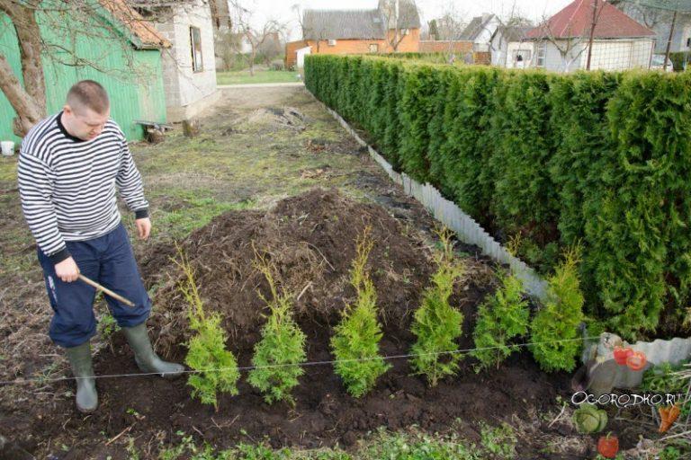 Почва для выращивания туй 71