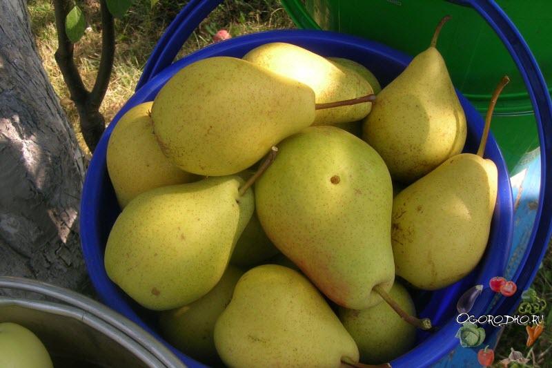 урожай груши сорта Лада
