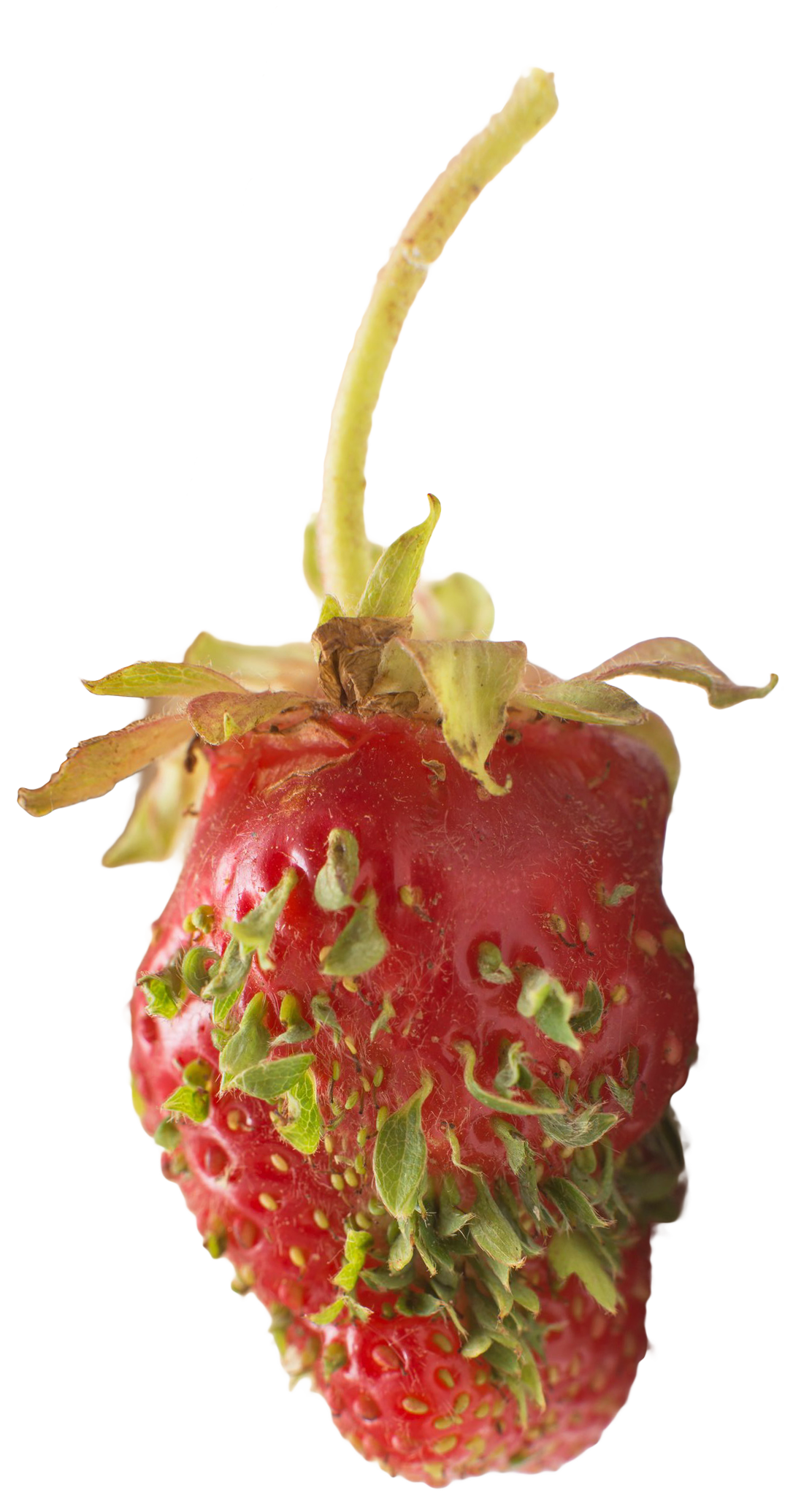 Глоксиния выращивание из семян пошаговое фото