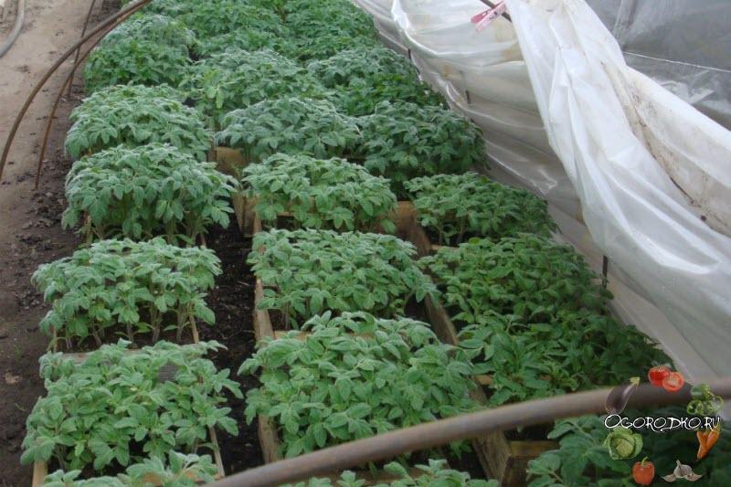 Чем подкормить рассаду помидор