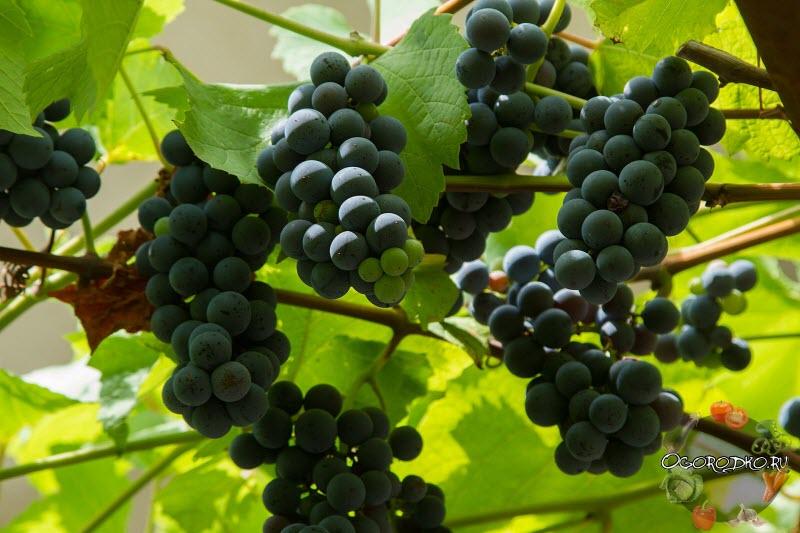 Изабелла сорт винограда